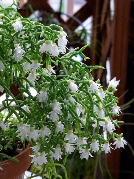 ripsalis-rhipsalis