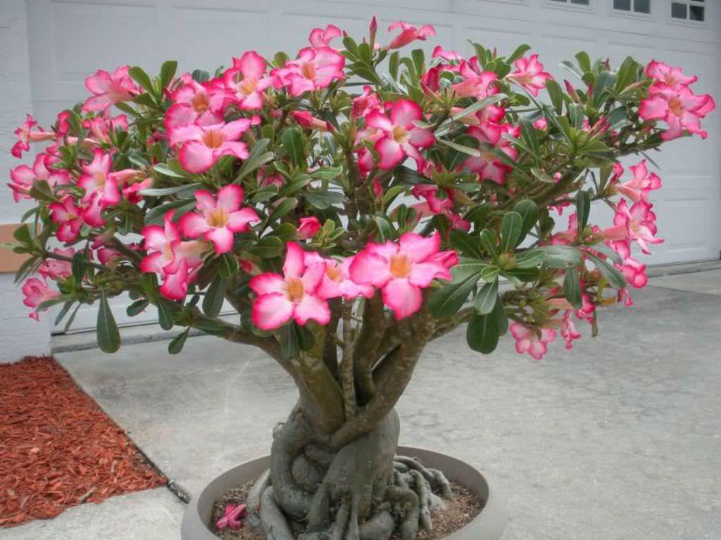 rosadodeserto
