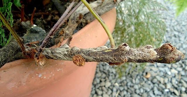 Como fazer propagação da Samambaia Rendaportuguesa  PlantaSonya