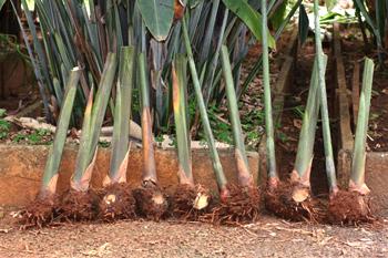 rizomas heliconia