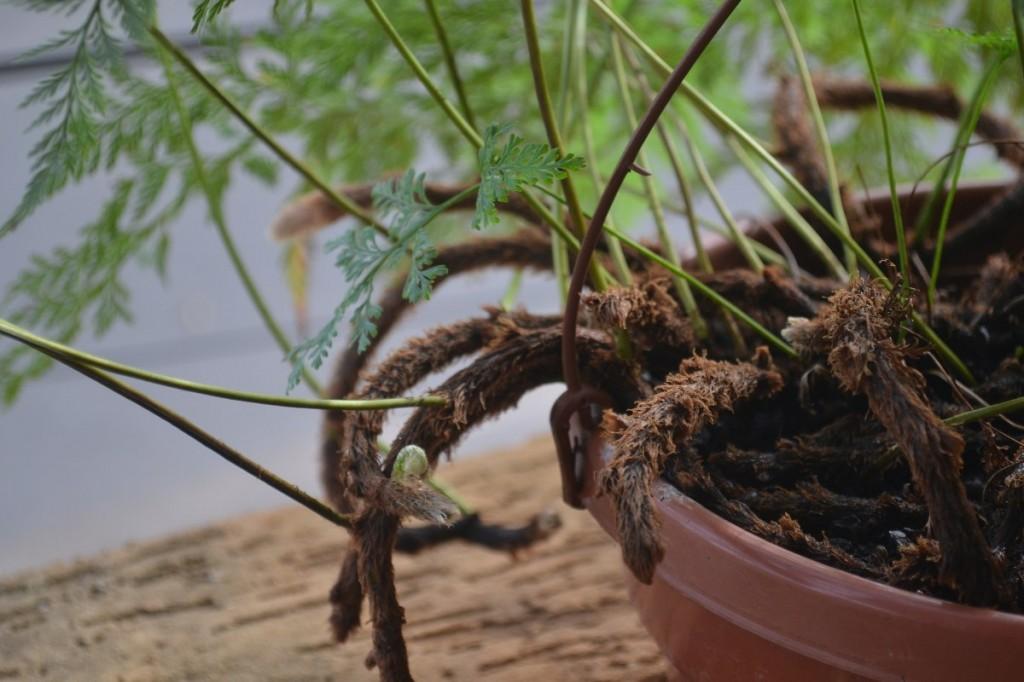 rizomas