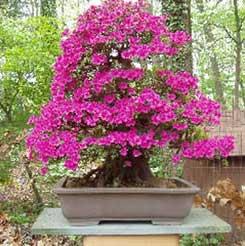 rododendrobonsai