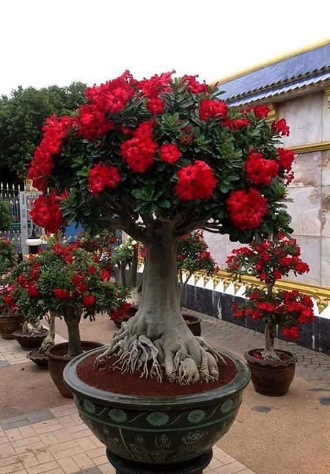 rododendros vermelhos
