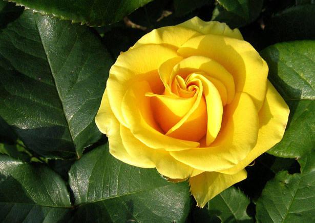 rosa-amarela