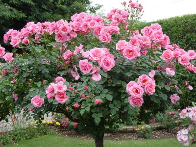 rosa arbustiva