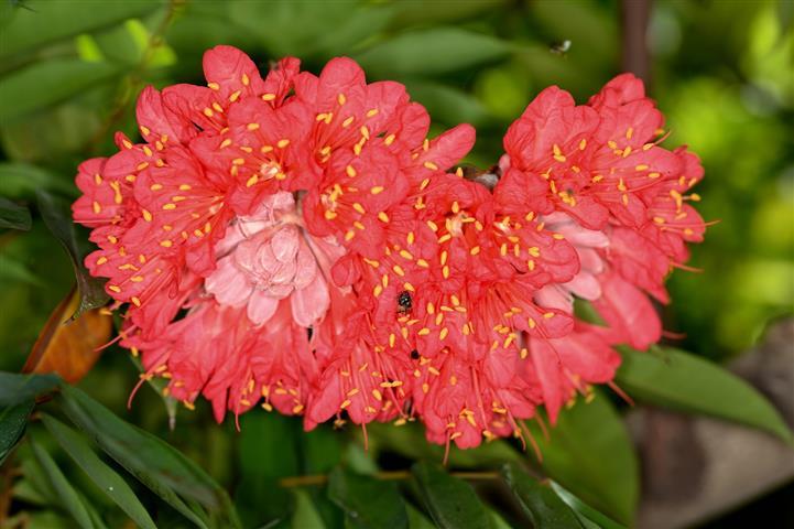 rosa-da-montanha