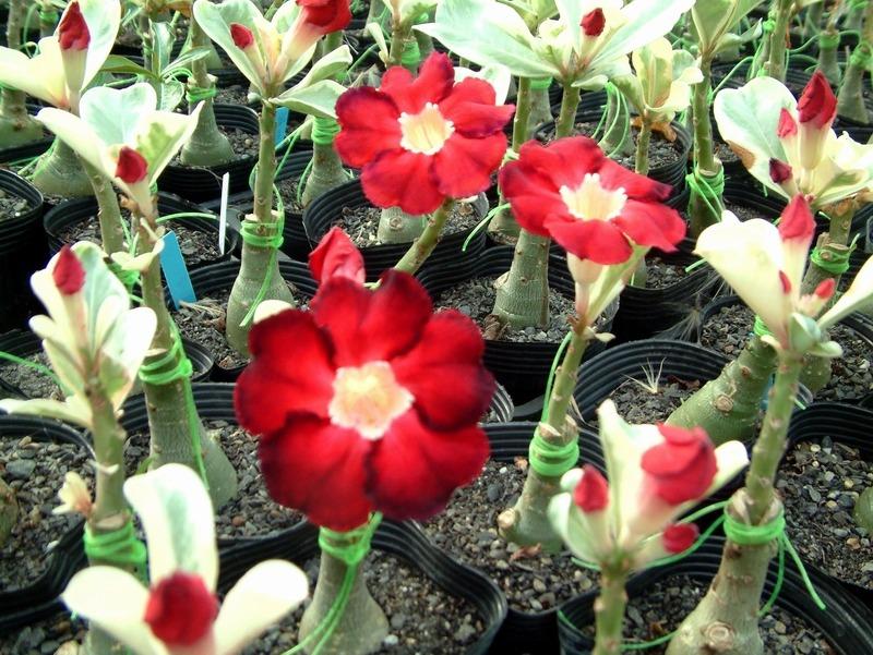rosa-do-deserto-adenium-obesum-s