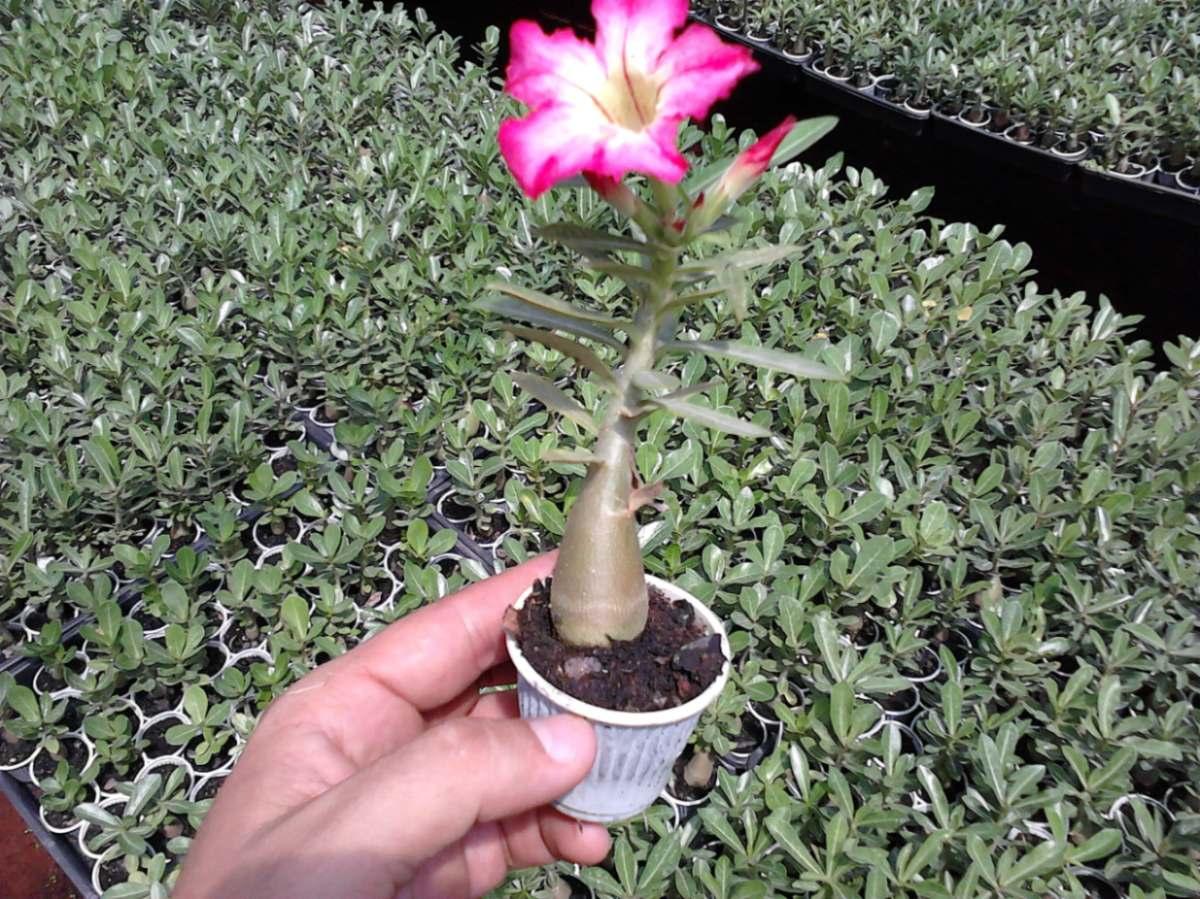 rosa-do-deserto-adenium-obesum_