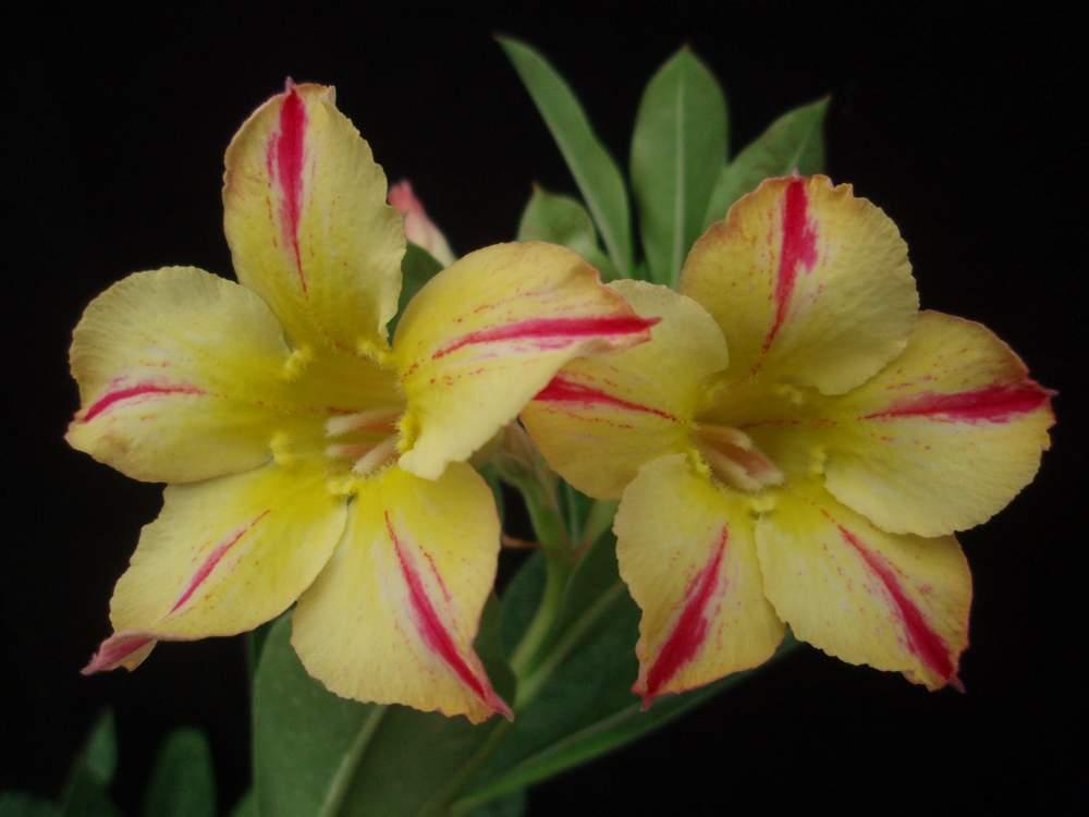 rosa-do-deserto -amarela