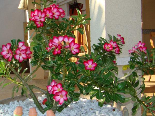 Cuidando E Tratando Da Planta Rosa Do Deserto Adenium Obesum