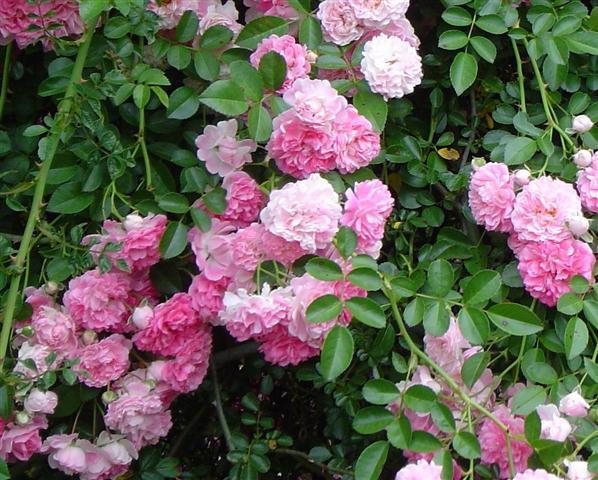 rosa-dorothyperkins
