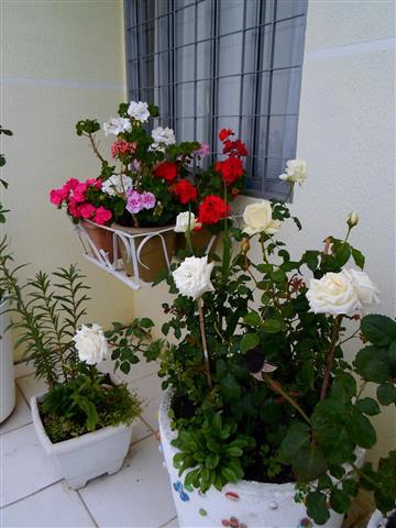 rosa em vaso )