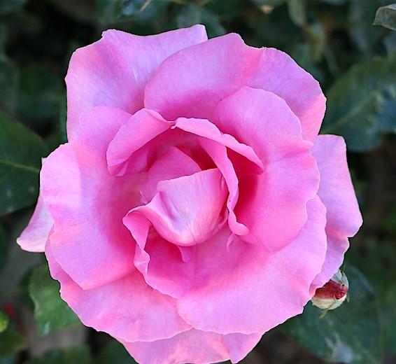 rosa híbrida de chá