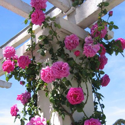 rosa hibrida