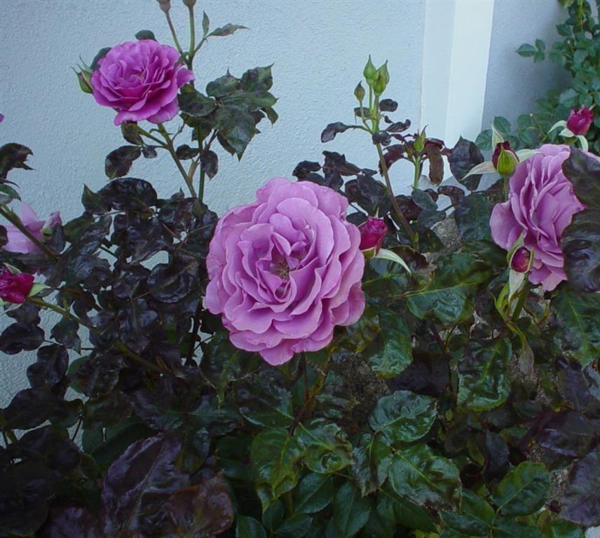 rosa hybrida