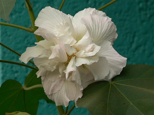 rosa louca (Small)