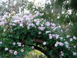 rosa spp -trepadeira