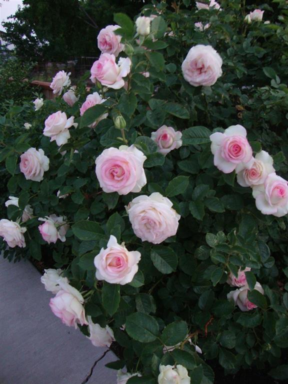 rosa-trepadeira