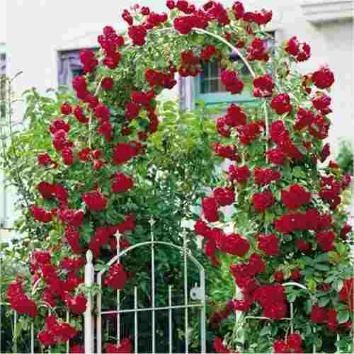 rosa-trepadeira-vermelha