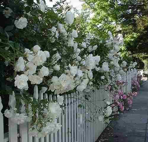 rosa trepdeira branca