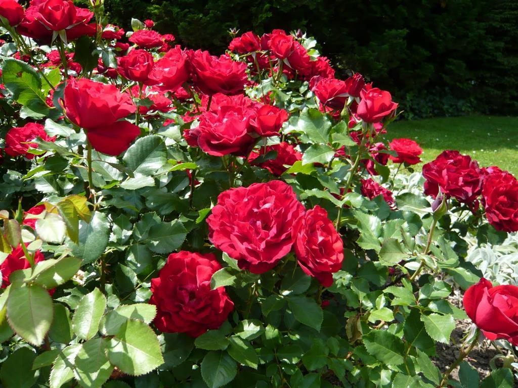 rosa vermelha (2)