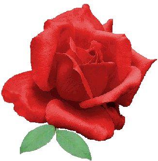 rosa_1152
