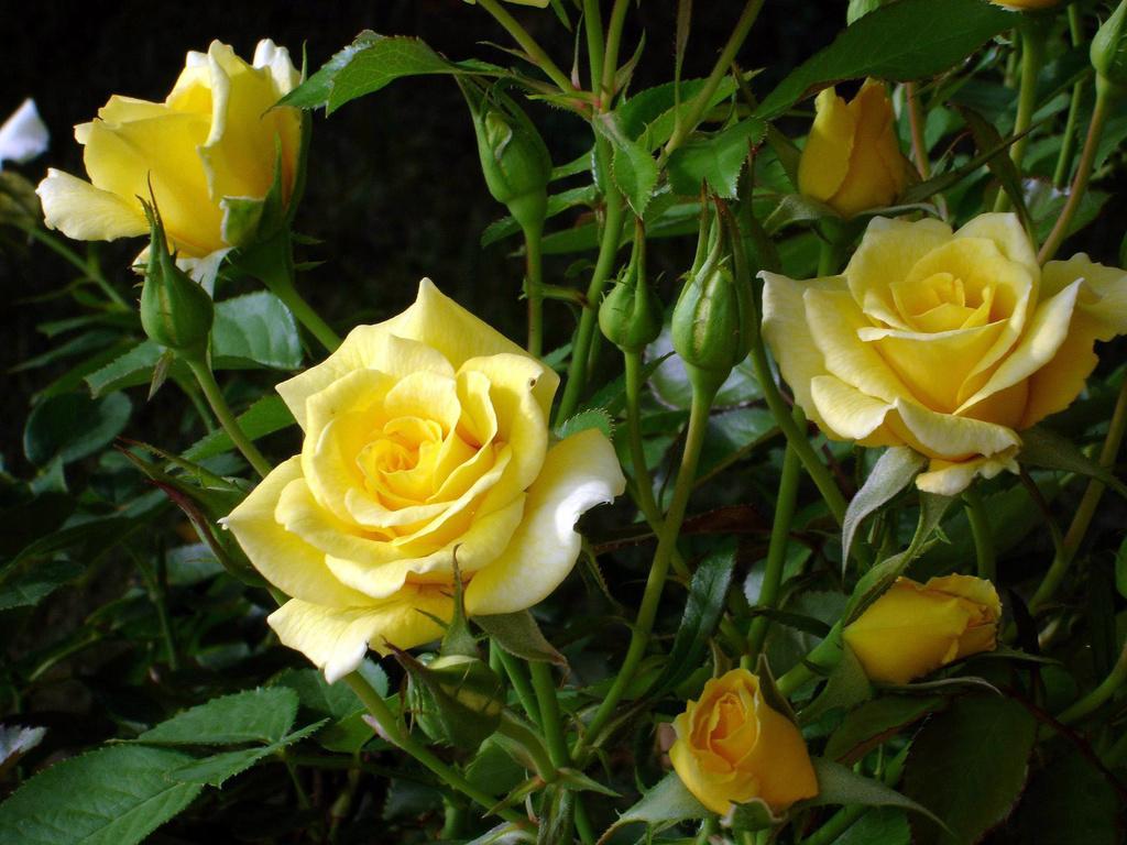 rosa_amarela