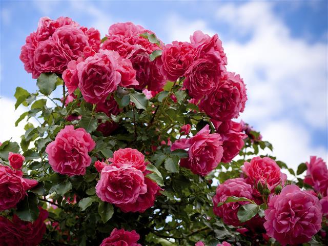 rosas-2