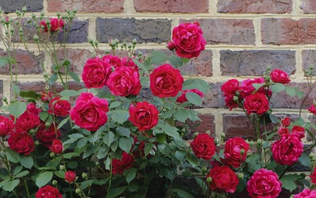 rosas-4