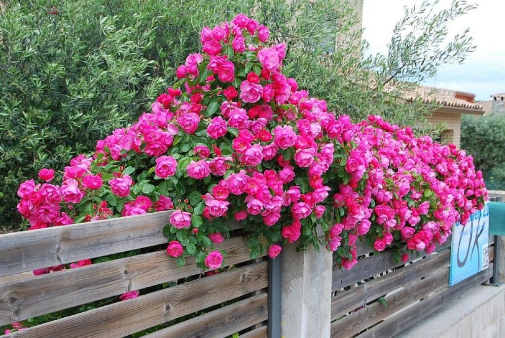 rosas-6