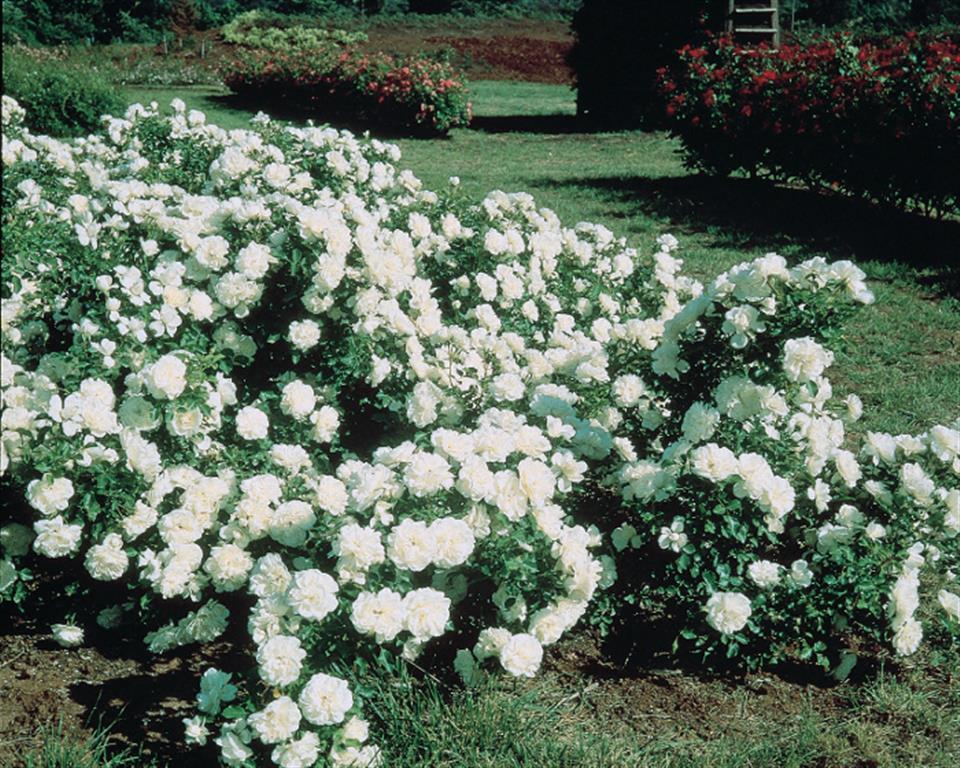 rosas Meidiland alba (Medium)