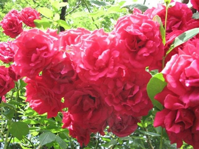 rosas (Small)