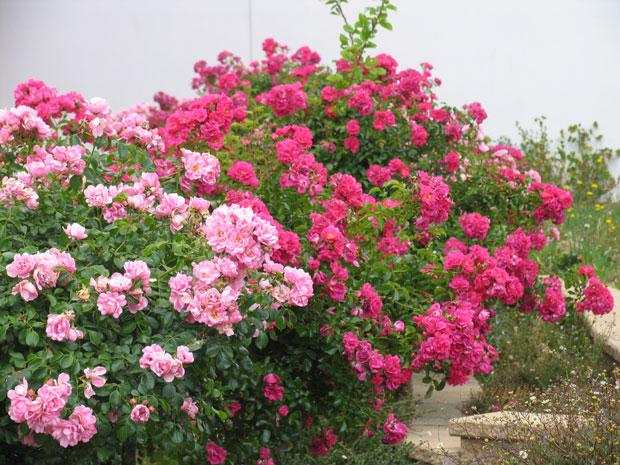 rosas rasteiras