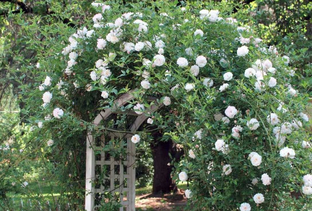 rosas-trepadeiras-brancas