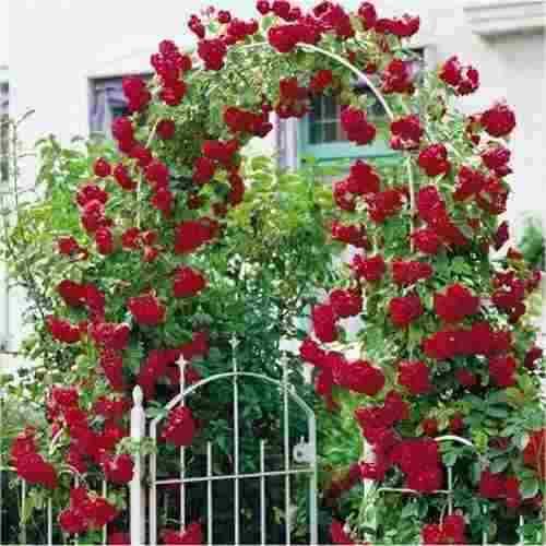 rosas-trepadeiras red