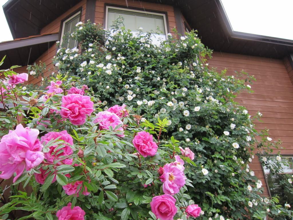 rosas-trepadeiras