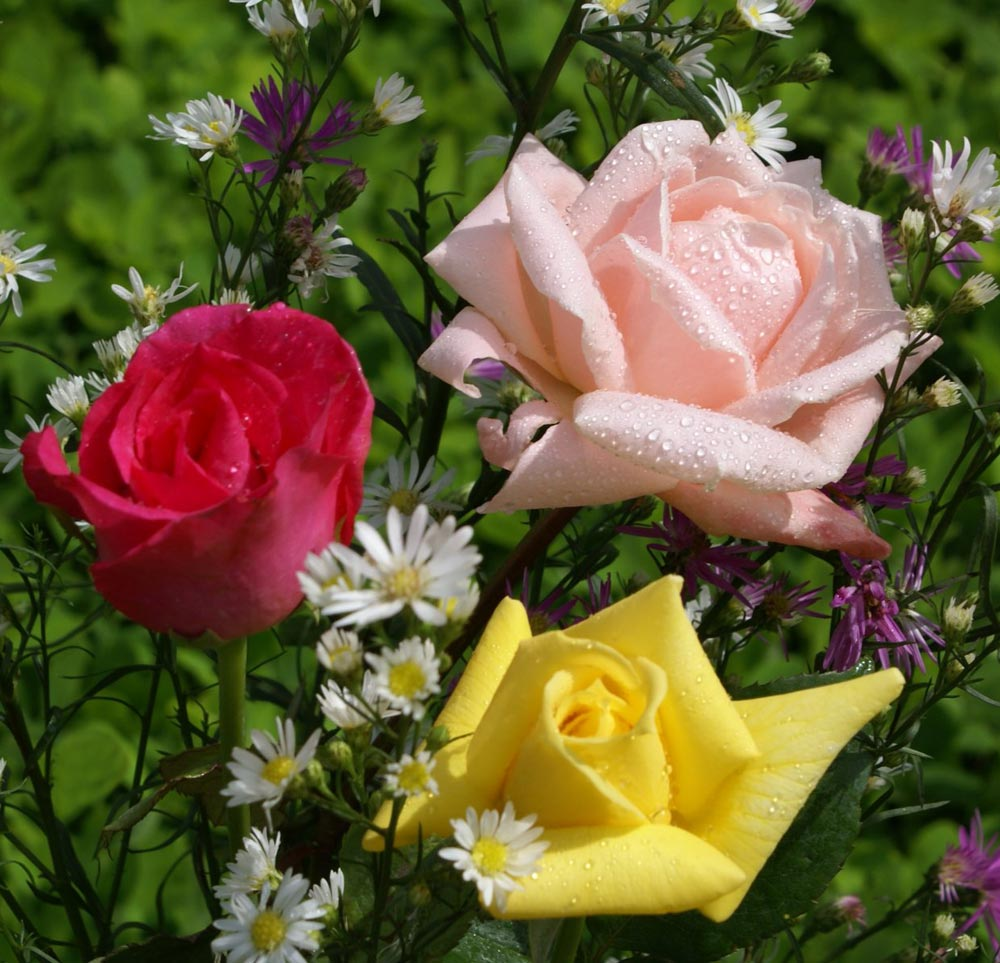 rosas11
