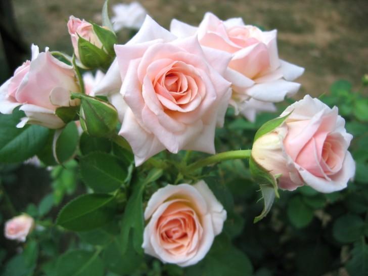 rosas_lll
