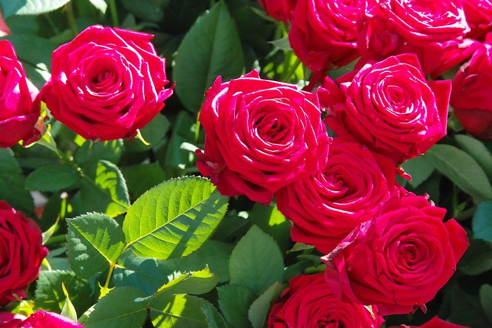 rosavermelha
