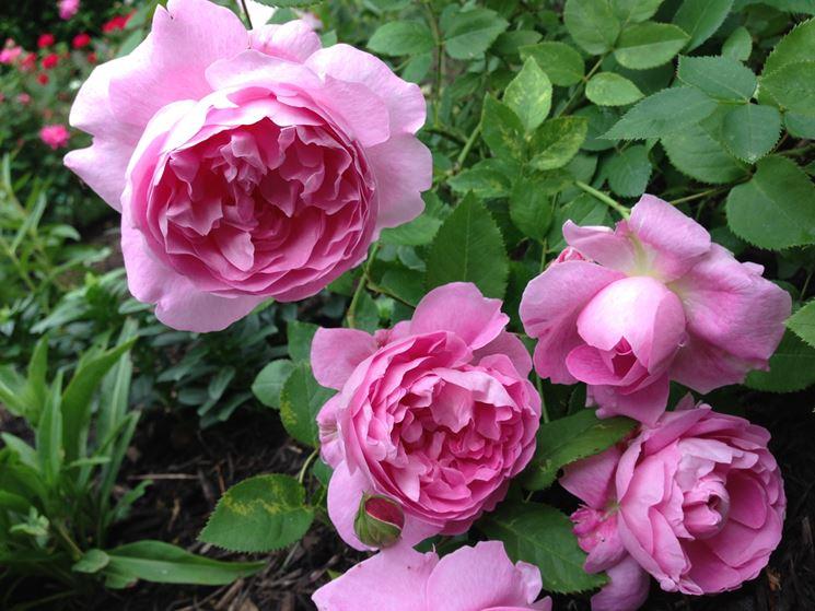 rose-NG13