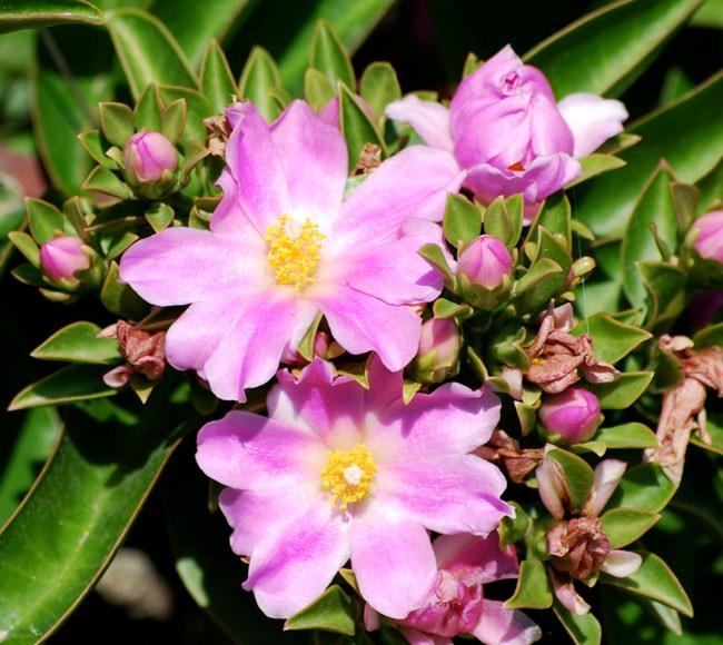 rose_cactus