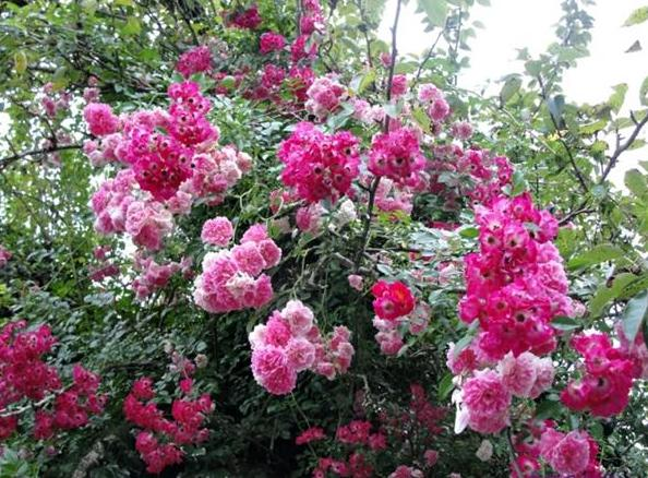 roseira-