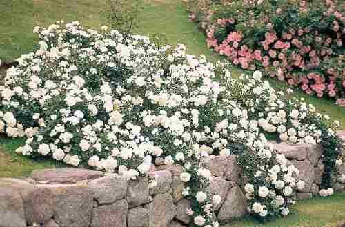 roseira Meidiland