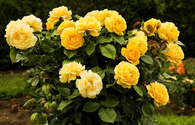 roseira amarela