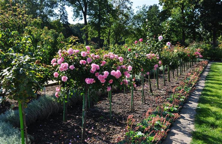 roseira arbustiva