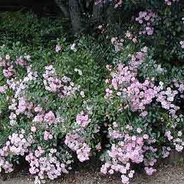 roseira arbusto