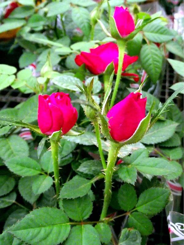 roseira-botao-rosa