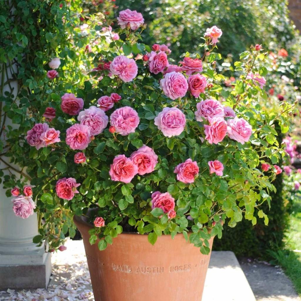 roseira em vaso