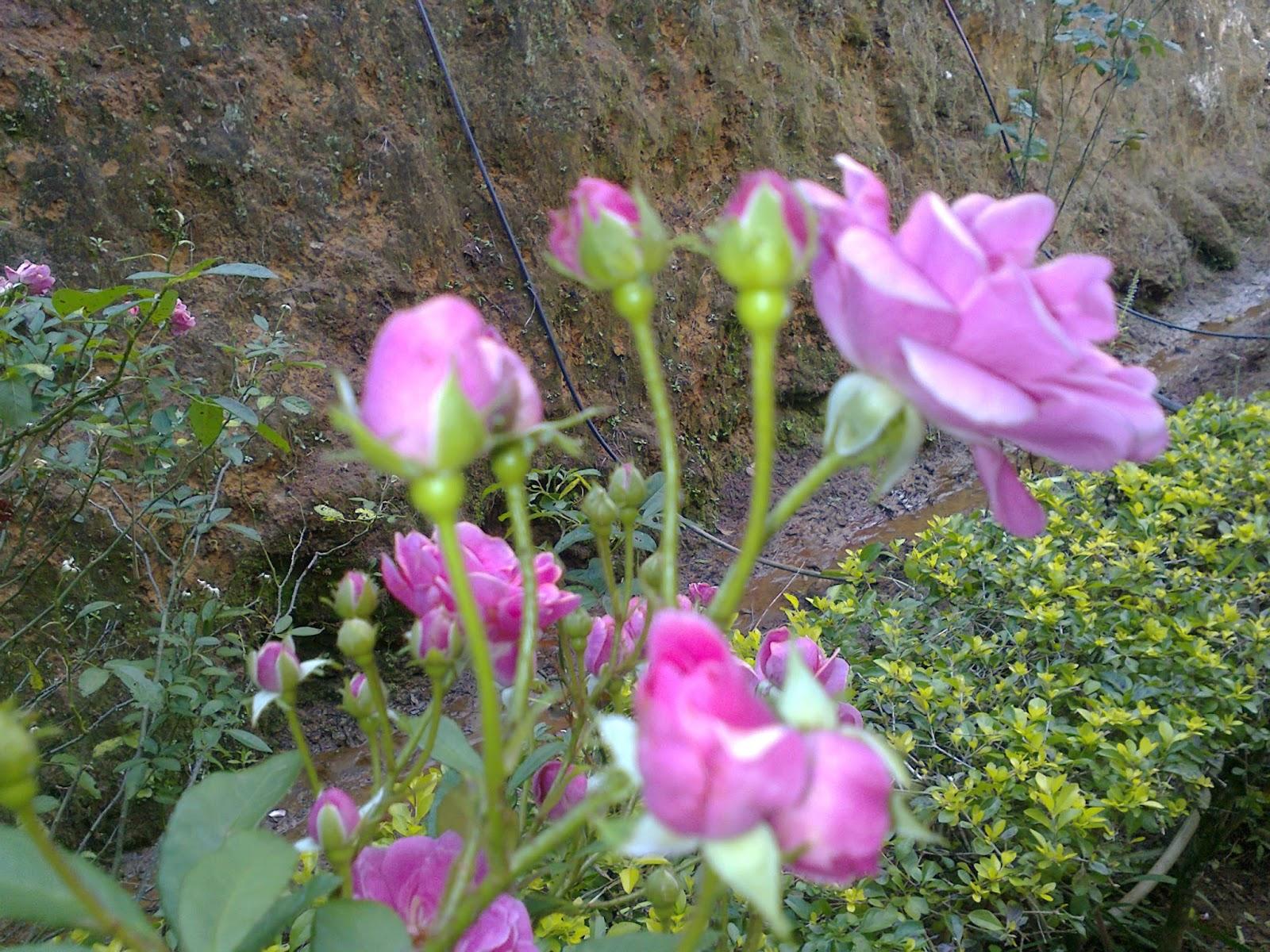 roseira111