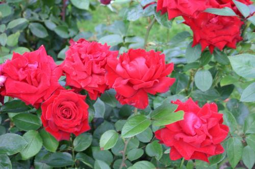 roseira2